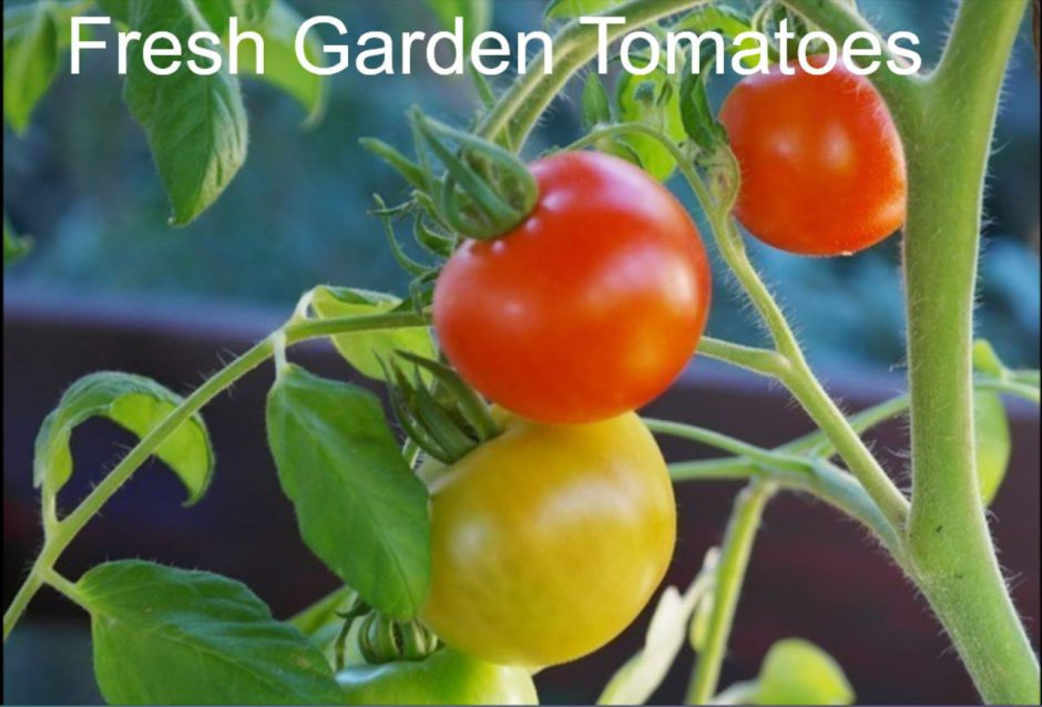 Fresh Garden Tomatoes for Summer Salads